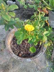 Auralite Black Garden Rose plants cinder., Packaging Type: Jude, Packaging Size: 30kg