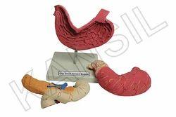 Human Stomach Pancreas & Duodenum Digestive System