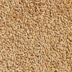 Look-1 Natural Certified Wheat Seeds, Packaging Type: PP Bag, Packaging Size: 40 Kg