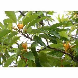 Flowering Tree Seeds