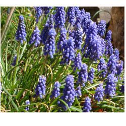 Hyacinth Absolute Oil
