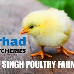 Poultry Farm Chicks in Jabalpur, पोल्ट्री फार्म
