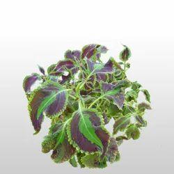 Aushadhi Herbal Coleus Extract, Packaging Size: 5