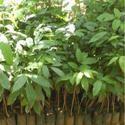 Green Mahogany Plant