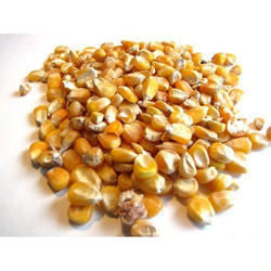 Maize Seeds, Pack Size: 50-60kg