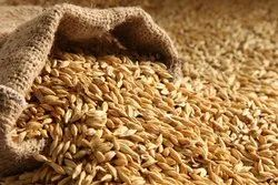 Indian Yellow Manufacturer and Exporter of Organic Barley and Wheat Grains