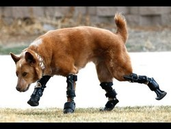 Animal Leg Prosthetics