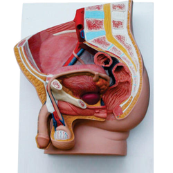 Human Male Pelvis Section (2 Part)
