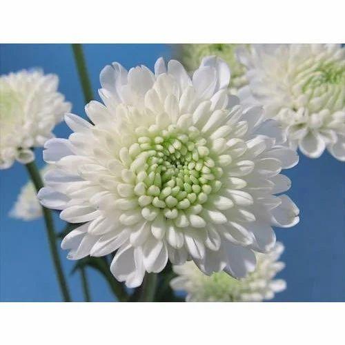 Chrysanthemum green and white flower om flowers ghaziabad id chrysanthemum green and white flower mightylinksfo