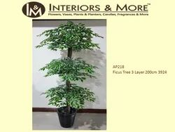 Green Ficus Tree, For Decoration