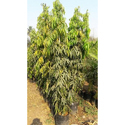 Ashok Tree Plant