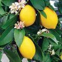 Organic Lemon Plant