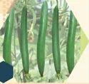 IV-Harita F1 Sponge Gourd Seeds