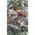 Pabda Fish Seeds
