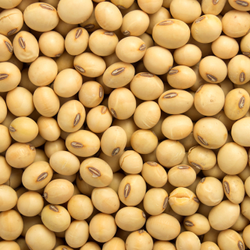 Indian Yellow Whole Soybeans, Maharashtra, Packaging Type Available: Gunny Bag