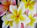 Dream Flowers Reed Fragrance