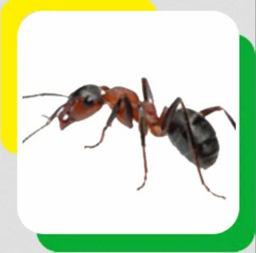 Carpenter Ants Pest Control Service In Jawahar Nagar Jaipur Eka Pest Control Service Id 20913558762