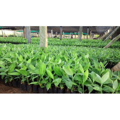 Green Elakki Banana Tissue Culture