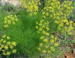 Dill Seed Oil Terprene Less