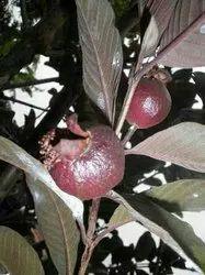 Black Guava Plant
