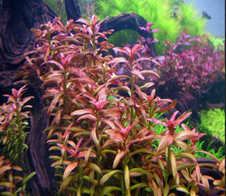 Rotala Rotundifolia Sunset Background Plant