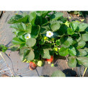 Strawberry Mulching Film