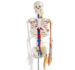 Human Skeleton Models 85 cms. with Nerves & Blood Vessels