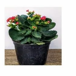 Green Rosa Kalanchoe Red Plant, for Garden