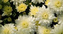 White Natural Chrysanthemums Plant, For Garden, Packaging Type: Poly Bag