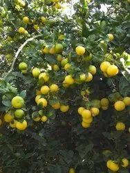 Kagzi Lemon Tissue Culture Tree