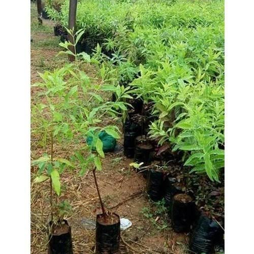 White Sandal Wood Plants