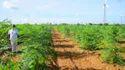 ODC3 Variety Drumstick / Moringa Seeds For Plantation