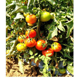 Hybrid Tomato Seeds TM - 1015