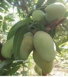 Green Natural Mango, Carton, Packaging Size: 20 Kg