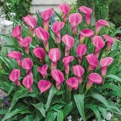 Calla Lily Pink Flowers