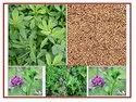 Alfalfa Grass /Medicago Sativa Seeds/ Lucerne High Protein Seeds For Sprouting And Agriculture