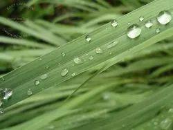 Pamarosa Plant