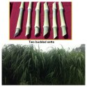 Napier Grass CO5 Slips Sales
