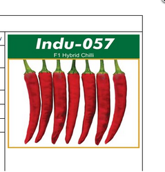 Hybrid Chili Indu 057