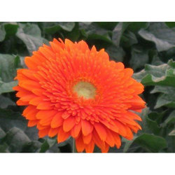 Gerbera Daisy Plant In Bengaluru Latest Price Mandi Rates From Dealers In Bengaluru