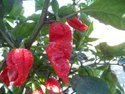 Naga King Red Chilli