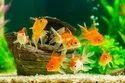 Gold Fish, Size: Medium