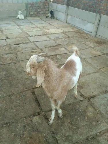 Manufacturer of Goat & Kota Goat by Boss Goat Farm, Indore