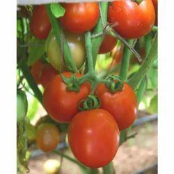 Hybrid Tomato Seeds TM - 1206