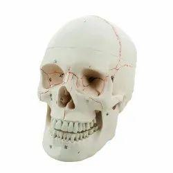 3 Part Human Skull