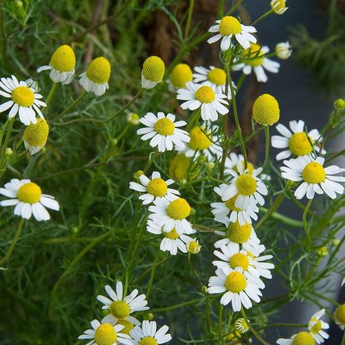 German Chamomile Natural Oil