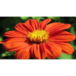 Tithonia Flower Seeds