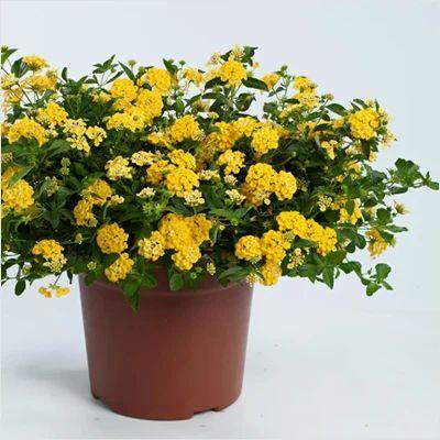 Lantana Live Pot Plant At Rs 200 Piece गरडन पलट