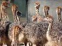 Brown Ostrich Chicks