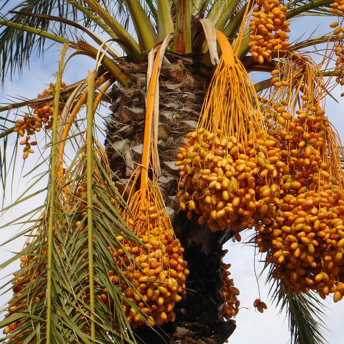 Date Palm Plant At Rs 500 Unit Date Palm Trees Id 15032791448